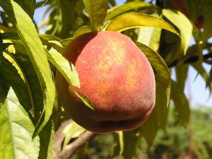 O'Henry heirloom peach tree for sale