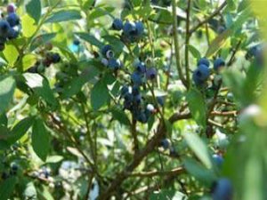 O'Neal Blueberry bush