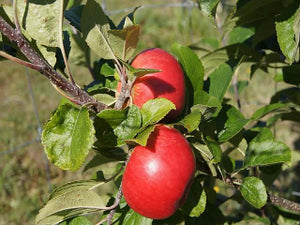 Opalescent organic heirloom apple tree for sale