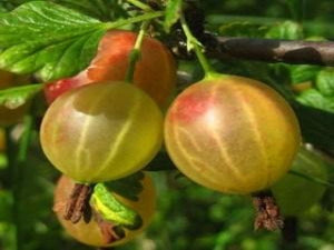 Oregon Champion Gooseberry bush for sale