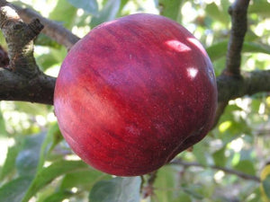Orenco heirloom apple tree for sale