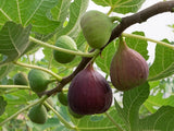Osborne Prolific  Fig