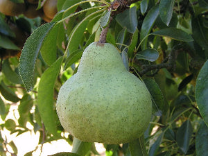 packham's triumph organic pear tree for sale