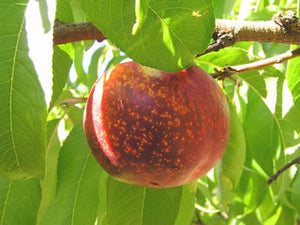 Panamint heirloom nectarine tree