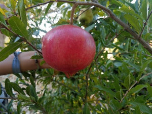 Parfianka Pomegranate bush