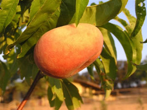 Peentau heirloom peach tree