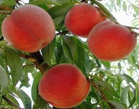 Peregrine heirloom peach trees