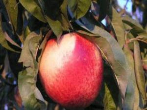 Ruby Grande heirloom nectarine tree for sale