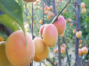 Pink Ume Apricot tree for sale