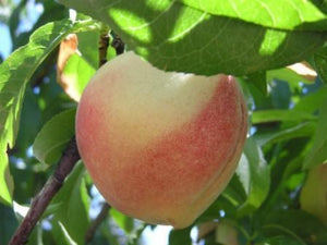 Polly White heirloom peach tree for sale