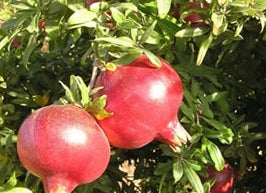 Kashmir Pomegranate bush for sale