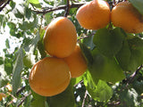 Puget Gold  Apricot tree for sale