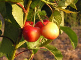 Rainier cherry trees for sale