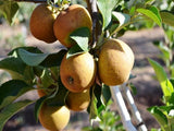 Razor Russet  heirloom apple trees