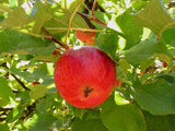 Red Astrachan  heirloom apple trees