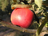 Red Berlepsch certified organic apple trees for sale