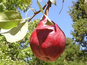Red Clapp's Favorite heirloom pear trees.