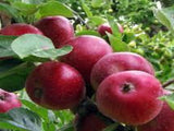 Red Winter Pearmain apple tree for sale