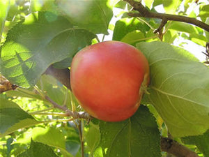 Red June certified organic apple tree