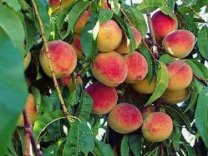 Redhaven heirloom peach trees