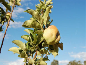 Reinette du Canada heirloom apple tree