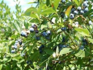 Reka Blueberry bush
