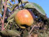 Ribston Pippin heirloom apple trees