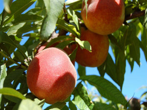 Rio Oso Gem heirloom peach tree for sale