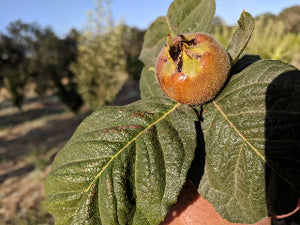 Royal Medlar fruit trees