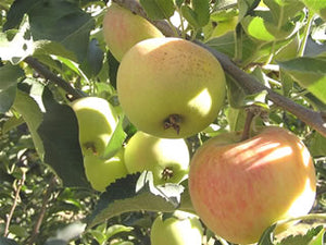 Rubinette certified organic apple trees
