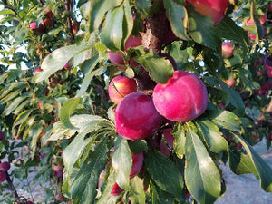 Santa Rosa heirloom plum trees