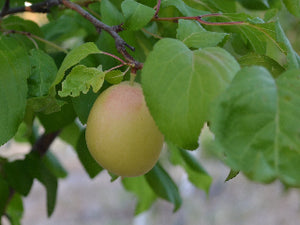 Shaa-Kar-Pareeh heirloom apricot tree