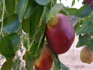 Shanxi Jujube tree for sale