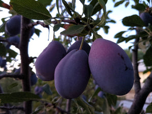Stanley heirloom plum trees