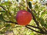 Starking Delicious heirloom apple tree for sale