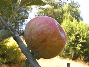 Stearns organic heirloom apple tree for sale