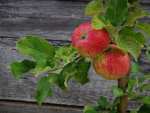 Strawberry Parfait heirloom apple tree for sale