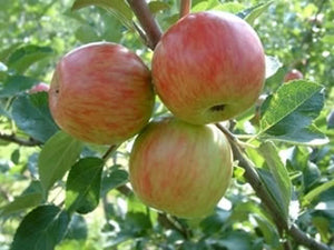 Summer Rose heirloom apple trees
