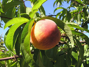 Suncrest  heirloom peach trees
