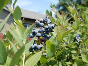 Sunshine Blueberry bush