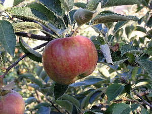 Suntan heirloom apple tree for sale