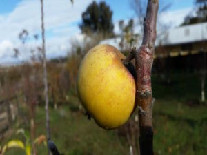 Swaar organic heirloom apple tree