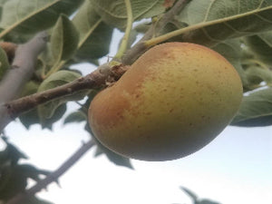 Sweet Delicious heirloom apple tree for sale