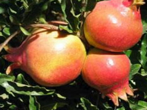 Sweet Pomegranate bush for sale
