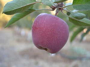 Sweet Sixteen (Sweet 16) heirloom apple tree for sale