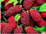 Tayberries canes for sale