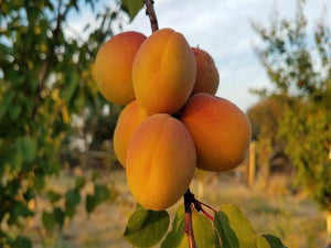 Tilton heirloom apricot tree