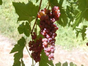 Vanessa Grape vines