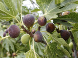 Violette de Bordeaux fig tree for sale