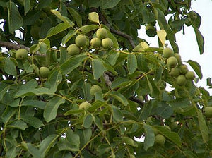 Hartley Walnut tree for sale